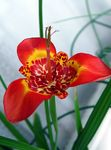 Photo Tigridia, Mexican Shell-flower Herbaceous Plant description