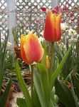 Photo Tulip Herbaceous Plant description