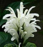 Brazilian Plume, Flamingo Flower