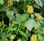 yellow Brazilian Plume, Flamingo Flower shrub, Jacobinia Photo