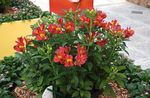 Photo Peruvian Lily Herbaceous Plant description