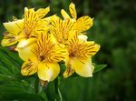 Photo Peruvian Lily Herbeux la description