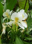 Photo Hedychium, Butterfly Ginger Herbaceous Plant description