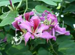 lilac Indoor Flowers Orchid Tree, Bauhinia Photo