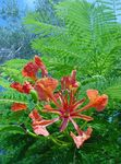 Photo Royal Poinciana, Flamboyant Tree  description