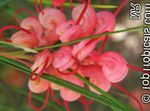Photo Grevillea Shrub description