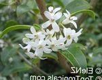 Photo Delavay Osmanthus, Delavay Tea Olive Shrub description