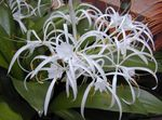 Photo Spider Lily Herbaceous Plant description