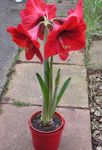 Photo Amaryllis Herbeux la description