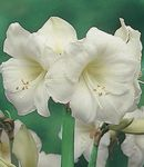 Photo Amaryllis Herbaceous Plant description