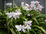Photo Crinum Herbaceous Plant description