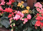 Photo Begonia Herbaceous Plant description