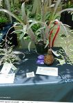 Photo Billbergia Herbaceous Plant description