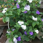 Photo Brunfelsia, Yesterday-Today-Tomorrow Shrub description