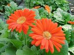 orange Indoor Flowers Transvaal Daisy herbaceous plant, Gerbera Photo