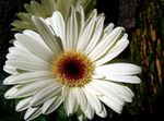 Photo Transvaal Daisy Herbaceous Plant description