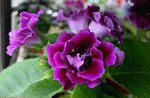 Photo Sinningia (Gloxinia) Herbeux la description
