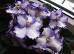 Photo African violet Herbaceous Plant description