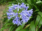 Photo African blue lily Herbaceous Plant description