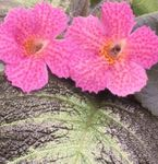 Photo Episcia Herbaceous Plant description
