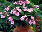 Photo Hydrangea, Lacecap Shrub description