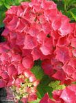Photo Hortensia, Lacecap Des Arbustes la description
