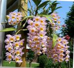 Photo Dendrobium Orchid Herbaceous Plant description