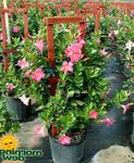 Photo Dipladenia, Mandevilla Hanging Plant description