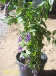 Photo Duranta, Honey Drops, Golden Dewdrop, Pigeon Berry Tree description