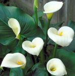 Photo Arum lily Herbaceous Plant description