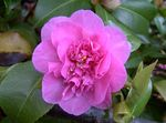 Photo Camellia Tree description