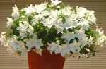 Photo Campanula, Bellflower Hanging Plant description