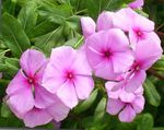 Photo Madagascar Periwinkle, Vinca Shrub description