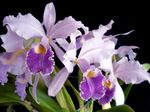 Photo Orchidée Cattleya Herbeux la description