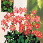 Photo Oxalis Herbeux la description