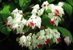 Photo Clerodendron Shrub description