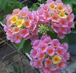 Photo lantana Shrub description