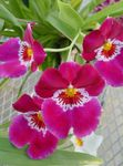 Photo Miltonia Herbeux la description