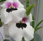 Photo Miltonia Herbaceous Plant description