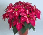 Photo Poinsettia Herbeux la description