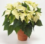 Photo Poinsettia Herbaceous Plant description