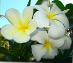 Photo Plumeria Shrub description