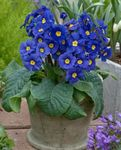 Photo Primula, Auricula Herbaceous Plant description