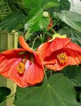 Photo Flowering Maple, Weeping Maple, Chinese Lantern Tree description