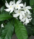 Photo Tabernaemontana, Banana Bush Shrub description
