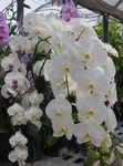 Photo Phalaenopsis Herbaceous Plant description