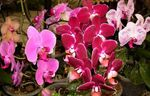 Photo Phalaenopsis Herbeux la description