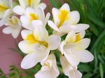 Photo Freesia Herbaceous Plant description
