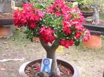 red Indoor Flowers Desert Rose tree, Adenium Photo