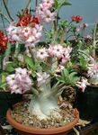 Photo Desert Rose Tree description